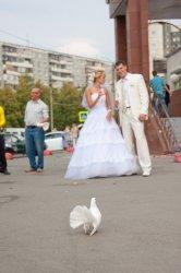 Свадебный голубь